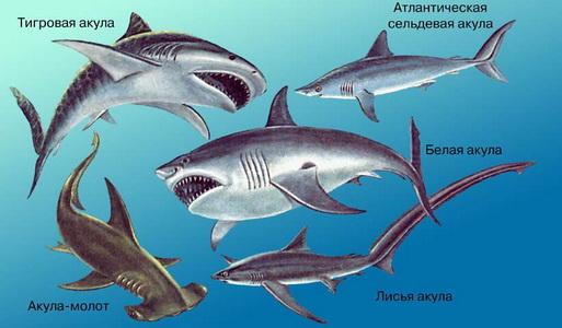 Кто такая акула? Интересное про акулу